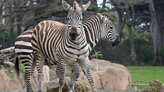 حديقة حيوان سان فرانسيسكو