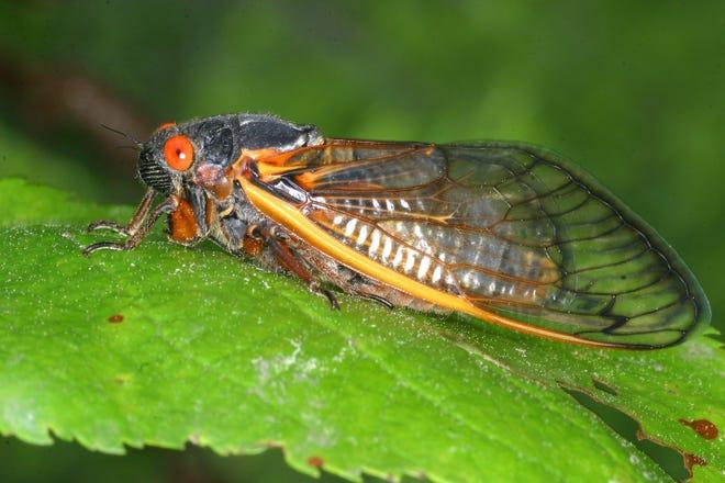 بعد إختفاء الحشرات 17 عاماً تحت الأرض، ستظهر مجدداً في 15 ولاية خلال العام الحالي!