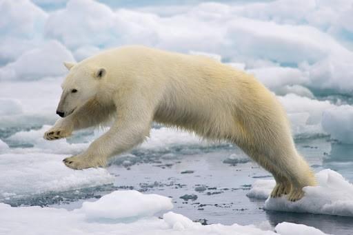الدب القطبي من الحيوانات البرية الأمريكية