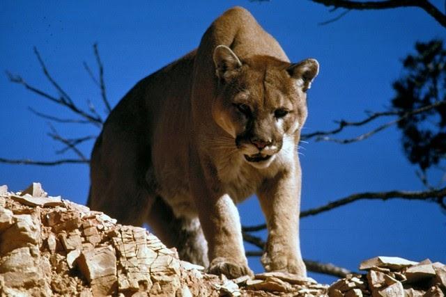 الأسد الجبلي من الحيوانات البرية الأمريكية